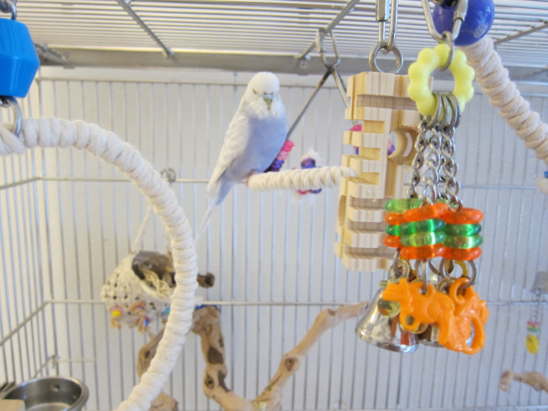 Roosting perches and foraging toys for budgies