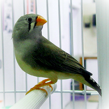 Pet Finch in a Cage