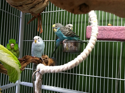 Budgie Cages: How to Set-Up Your Parakeet's Cage with Toys