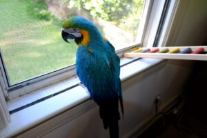 B&G macaw looks out the window